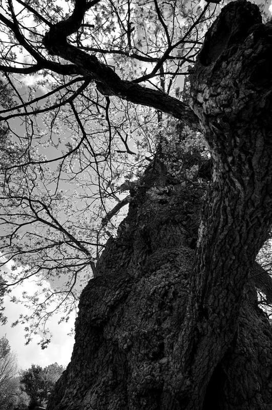 Chêne à Guillotin